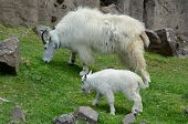 Captivating Vista On A Rocky Mountain Nanny Goat And Her Kid, Quietly Grazing In A Seasonal Exhibit  poster