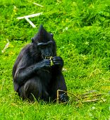 Celebes Crested Macaque Eating Food In Closeup, Critically Endangered Animal Specie From The Tangkok poster