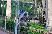 Grey Monkey Outside Of Enclosure In Zoo. Cute Monkey With Fruit In Tropical Environment. Animal Free poster