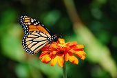 Orange Monarch Butterfly On Orange Flower In Garden poster