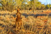 Front View Of A Male Red Kangaroo Standing Outdoors In The Wilderness. Outback Of Central Australia. poster