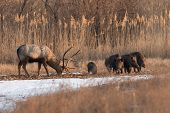 foto of boar  - Deer grazes together with wild boar. The wild nature