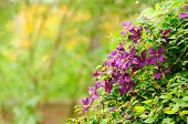 Beautiful Clematis Bush With Purple Flowers In Garden