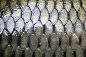 stock photo of fish skin  - big carp scales close up as a background - JPG