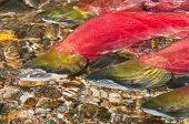 foto of spawn  - Sockeye Salmon swimming Upstream to their Spawning Grounds - JPG