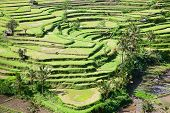 picture of rice  - Rice fields - JPG