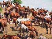 Herd Of Purebred Arabian Mares poster