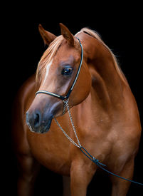 picture of fillies  - Chestnut horse portrait isolated on black background - JPG