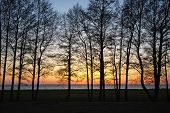 stock photo of alder-tree  - Alder trees at sunset - JPG