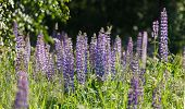 stock photo of lilas  - Wild lupines - JPG