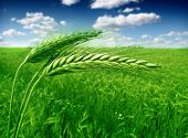 foto of nubian  - green wheat field - JPG