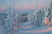 foto of laplander  - trees at sunset in winter Finland Lapland - JPG