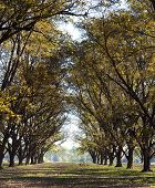 picture of pecan tree  - Tall Pecan Grove Row with Blue Sky - JPG