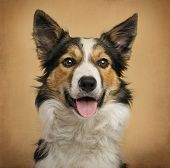 pic of collie  - Close - JPG