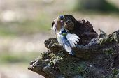 pic of great tit  - A great tit attacking a finch in the forest - JPG
