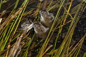 image of spawn  - Three frogs in pond weed surrounded with spawn - JPG