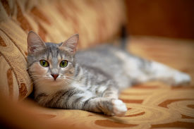 pic of tabby-cat  - The gray cat with green eyes lies on a sofa - JPG