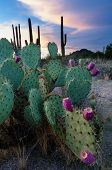 image of prickly-pear  - A prickly pear cactus in the Arizona desert is ripe with fruit - JPG