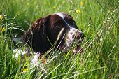 A Very Cute Liver And White Working Type English Springer Spaniel Pet Gundog poster