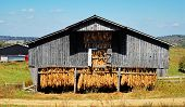 picture of tobacco barn  - An old wooden tobacco barn loaded with curing tobacco leaf in south central Kentucky.
