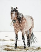 stock photo of horses eating  - This picture is of a bay roan horse that is eating hay off the ground in the winter - JPG