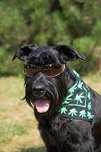 image of schnauzer  - Big Black Schnauzer Dog is posing for the camera - JPG