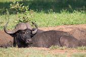 foto of cape buffalo  - Cape buffalo mud play in mud to cool down and protect from insects