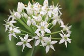 image of chive  - Chinese Chive flowers - JPG