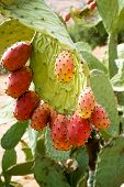 pic of prickly-pear  - Wild prickly pears with ripe fruits in red - JPG