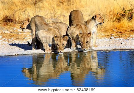 Lions drinking from camp waterhole in Ongava reserve with a good water reflection, Lions drinking from camp waterhole in Ongava reserve with a good water reflection