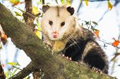 picture of possum  - Male opossum sitting on a tree branch - JPG