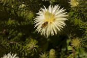 image of pubescent  - A fully blossom phylica pubescens with a bee extracting nectar - JPG