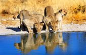 stock photo of lion  - Lions drinking from camp waterhole in Ongava reserve with a good water reflection - JPG