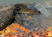 pic of salvation  - close up face of Water monitor Varanus salvator lying in water pool - JPG