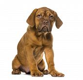 foto of dogue de bordeaux  - Dogue de Bordeaux puppy - JPG