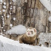 stock photo of ferrets  - Ferret in front of a Christmas scenery - JPG