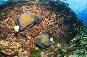 pic of angelfish  - Pair Ringed Angelfish - JPG