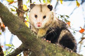 foto of opossum  - Male opossum sitting on a tree branch - JPG