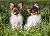 stock photo of toy dogs  -  french continental toy spaniel - JPG