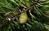 foto of pine-needle  - New pine cone just forming and not yet solid - JPG