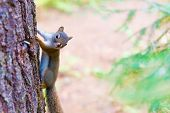 image of chipmunks  - Chipmunk clinging on a tree in the Algonquin Park.