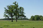 stock photo of wetland  - Two Bur Oak trees thrive in a sedge meadow wetland - JPG
