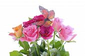 foto of monarch butterfly  - Pink fuchsia and yellow rose buds with monarch butterfly against white background - JPG