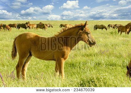 Horse Foal On Pasturefoal Grazing