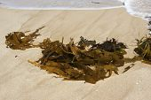 fresh sea weed on the beach in Victoria Australia