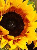 Gazing Sunflower poster