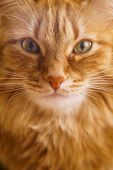 Close up Photo of Red Fluffy Tabby Male Cat with Green Eyes Looking Straight Towards Camera poster