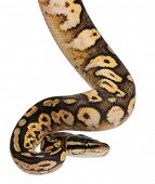 stock photo of pythons  - Male Pastel calico Python - JPG