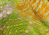 image of lizard skin  - Close - JPG