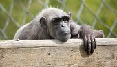 foto of tarzan  - Photo of a chimpanzee resting in captivity